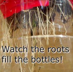 Hydroponic Gardening, Hydroponics, Soda Bottles, Roots, Science, Pop Bottles, Aquaponics
