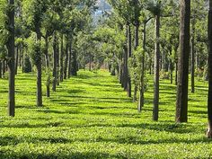 Tea Estate of Assam, India