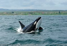 Orca. Orcinas orca. Killer whale. Take the pledge to never buy a ticket to any marine park. Become informed! Boycott SeaWorld. Protect the majestic sea mammals and their freedom from captivity! Make a board for orcas!