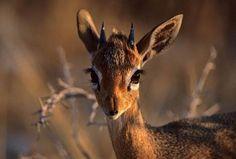 Deer eyes   Face Photography: Photograph - Deer Eyes