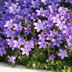 Une incontournable du jardin ! La campanule est une vivace bien connue pour sa résistance au gel et à la sécheresse. C'est une vivace très intéressante, car elle est capable, même dans un petit espace avec peu de terre, de vous offrir une magnifique cascade de fleurs violettes. La floraison s'étale sur les mois de mai à juillet.  Rustique à -20°C, la Campanule des murs peut être plantée partout en France. Assez résistante aux embruns, elle tolère aussi tous les terrains.La campanule...