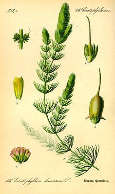 Ceratophyllum demersum. Flora von Deutschland Österreich und der Schweiz (1885).