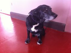 Badger, a 10 year old Collie Labrador cross