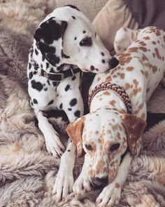 I wanted brown clair Cute Little Animals, Cute Funny Animals, Beautiful Dogs, Animals Beautiful, I Love Dogs, Cute Dogs, Puppies And Kitties, Doggies, Dalmatian Dogs