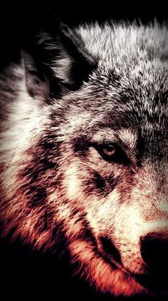My pretty babies Wolf Photos, Wolf Pictures, Beautiful Wolves, Beautiful Dogs, Wolf Life, Wolf Spirit Animal, Wolf Wallpaper, Wolf Howling, Lone Wolf