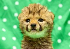 Busch Gardens released photographs of a 4-week-old cheetah that it has been caring for since adopting from Jacksonville Zoo and Gardens, where the newborn's mother wasn't able to care for him. The cheetah will become part of Cheetah Run when it opens.