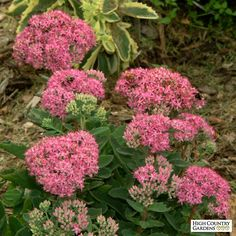 Sedum 'Carl' blooms in late summer into early fall with large, flat-topped magenta-pink flower heads. A medium growing Stonecrop, the plant's large, attractive gray-green leaves make a nice presentation earlier in the season. Large Flowers, Pink Flowers, Sedum Plant, Front Flower Beds, High Country Gardens, Sensory Garden, Sun Plants, Plant Sale, Plant Design
