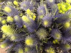Eryngium or Blue Thistle