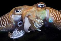 Two mating cuttlefish, Sepia officinalis by Luc Rooman. Winner, Best Overall in the 2010 Underwater Photography Contest