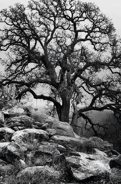 Blue Oak 1 by mojaverockyphotos on Etsy