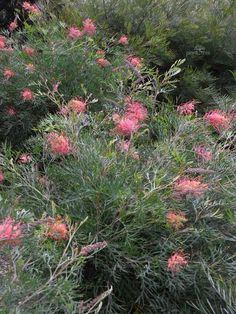 Grevillea superb Australian Garden Design, Australian Native Garden, Australian Native Flowers, Modern Garden Design, Landscape Design, Dry Garden, Side Garden, Perennial Garden Plans, African Plants
