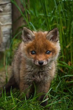 A beautiful baby fox.