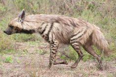 Striped Hyena – While its more famous cousin, the spotted hyena, can claim to be the most numerous predator in the Serengeti, the striped hyena is very rarely seen. They are much more shy and elusive then the spotted hyena and typically only leave their den when it is completely dark outside. However, they are occasionally seen in the Serengeti in the early morning returning from distant hunting forays especially on the Plains in the South and East Serengeti.