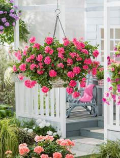 Pelargonium peltatum Toscana Hanging Planters, Hanging Baskets, Geranium Plant, Rose Garden Design, Flower Names, Exterior, Blooming Flowers, Farm Life, Horticulture