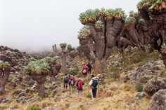 I trekked through 5 different ecosystems on Mt. Kilimanjaro in Tanzania, Africa ... the world's tallest freestanding mountain