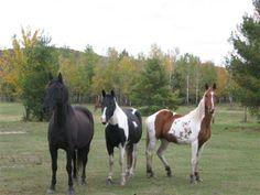 saddlebread horse | Saddlebred Horses