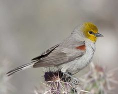 Verdin can be found at Pancho Villa State Park, which is part of the SW NM Birding Trail