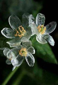 flowers that turn transparent with rain