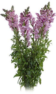 Wholesale Snapdragon, Bulk Snapdragon Flowers, Buy Snapdragons Wedding Flowers, Wholesale Fresh Flowers | Amazonflowers.us
