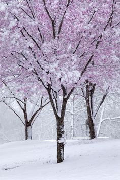 Chicago's cherry blossom trees in winter. Winter Szenen, Winter Magic, Winter Time, Spring Snow, Blossom Trees, Cherry Blossoms, Snow Scenes, Winter Beauty, Beautiful World
