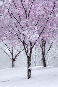 Chicago's cherry blossom trees in winter. Winter Szenen, Winter Magic, Winter Time, Spring Snow, Blossom Trees, Cherry Blossoms, Snowy Day, Snow Scenes, Winter Beauty