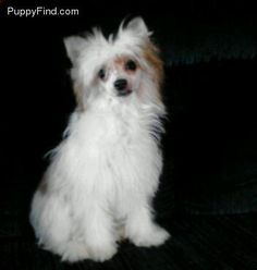 Chinese Crested Pictures (ojfd46540tp)