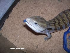 Darwin the Blue-tongued Skink http://www.animalwonders.net/