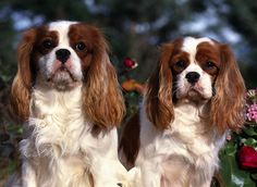 """Cavalier King Charles Spaniel is a sweet dog, gentle, cheerful and loving. this """"toys dog"""" is a popular companion dog. Cavalier has balanced body, graceful, proportioned with slightly rounded head, large eyes, round and beautiful. The body covered by a smooth coat and long."""