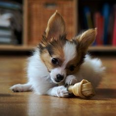 papillon puppy!! by lillie