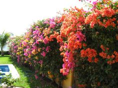 images bougainvillea gardens | This magnificent rainbow riot of color well shows the bougainvillea ...
