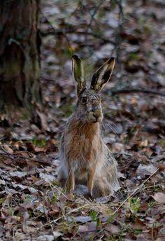 wild brown hare, foto temmee, flickr
