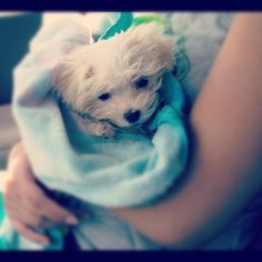 Baby Chloe (Maltese)