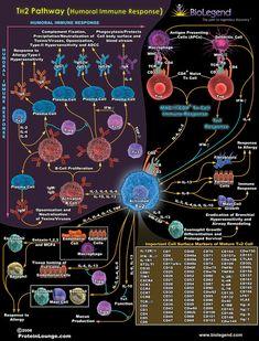 Tissue Biology, Cell Biology, Molecular Biology, Medical Memes, Medical Laboratory Science, Hematology, Science Facts, Medical Information, Med School