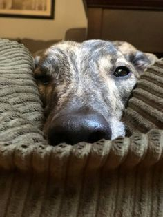 Greyhound Whippets are good for both homes with yards and apartments. Beware, they think they are royal and you are the servant, but you'll never get more love. I Love Dogs, Cute Dogs, Sweet Dogs, Lurcher, Grey Hound Dog, Dog Care, Dog Pictures, Dogs And Puppies, Greyhound Puppies