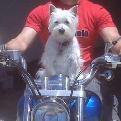 Westies roll hard. Haha. ( my Dixie dog )