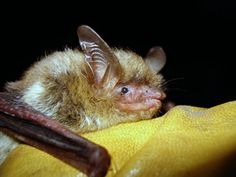 US issues rules to protect bat threatened by fungal disease - Megabats (Flying-Fox, Fruit bat) and Microbats