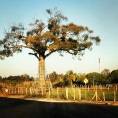 Árvore Jequitibá com aproximadamente 700 anos, localizada no Distrito de Eugênio de Melo, São José dos Campos, SP. Brasil.