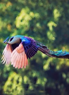 Peacock flying