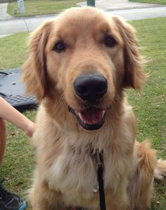 Enjoying this nice day ! Rusty #golden #goldenretriever #dog