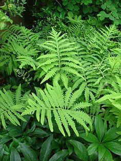 Onoclea sensibilis aka sensitive fern. This grows freely in my yard, popping up everywhere.