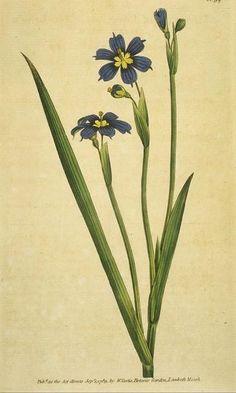 Iris-leaved Sisyrinchium