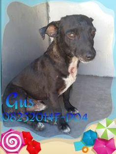 ***SUPER SUPER URGENT!!!*** - PLEASE SAVE GUS!! - EU DATE: 8/31/2015 -- Gus (08252015f-D04) Breed:Terrier (mix breed) Age: Adult Gender: Male Size: Small Special needs: hasShots, Shelter Information: Delano Animal Shelter 1525 Mettler Avenue  Delano, CA Shelter dog ID: 08252015f-d04 Contacts: Phone: 661-721-3377 Name: Delano Animal Control email: SHELTER661@GMAIL.COM  Read more at http://www.dogsindanger.com/dog/1440537713918#iG0FdpT74ecqWtJt.99