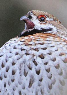 Fat Bird, Grouse, Pheasant, Creatures, Birds, Nature, Animals, Naturaleza, Animales