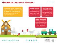 Granja de Traspatio: Gallinas. SAGARPA SAGARPAMX #MéxicoAgroPotencia