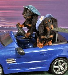 Headed to Pet Smart.one of my favorite Doxie pics! Cute Puppies, Dogs And Puppies, Cute Dogs, Baby Animals, Funny Animals, Cute Animals, Puppy Love, Dog Love, Weenie Dogs