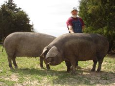 black hogs - true grazers that won't destroy the pasture.  ALso, they are friendly and easy to handle