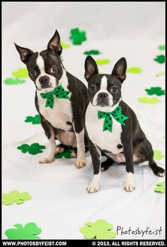 To St. Pattie's Boston Terrier dogs. Love this photo? Re-pin it!