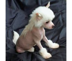 Adorable Chinese crested