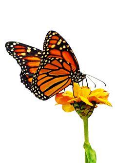Monarch Butterfly on Zinnia Flower, Art Photography Card