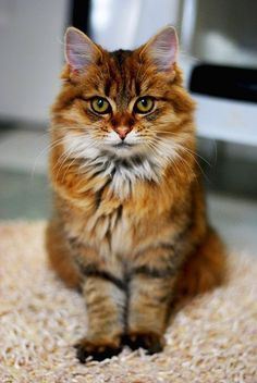 Five Interesting Facts About Maine Coon Cats http://www.mainecoonguide.com/
